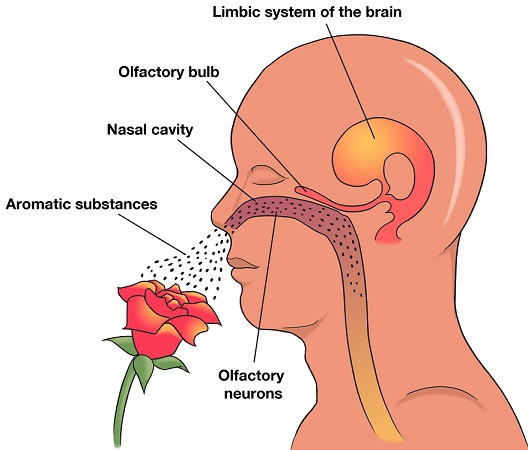 olfactory_diagram